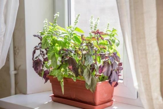 Интересный способ комнатного выращивания кинзы в улитках