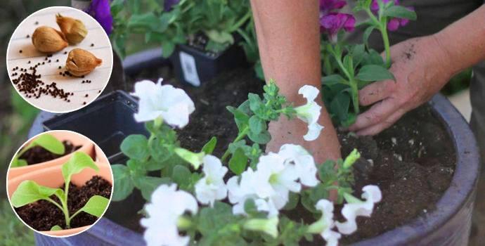 Как вырастить рассаду петунии дома – пошаговый мастер-класс с фото