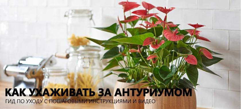 Чем подкормить антуриум в домашних условиях: какие удобрения применять, уход за растением