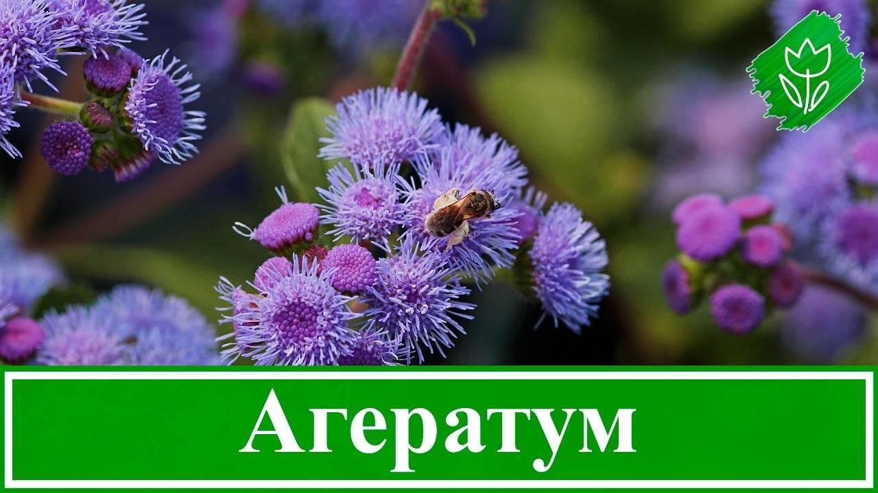 Выращивание агератума из семян в домашних условиях. когда сажать цветок и какую разновидность выбрать