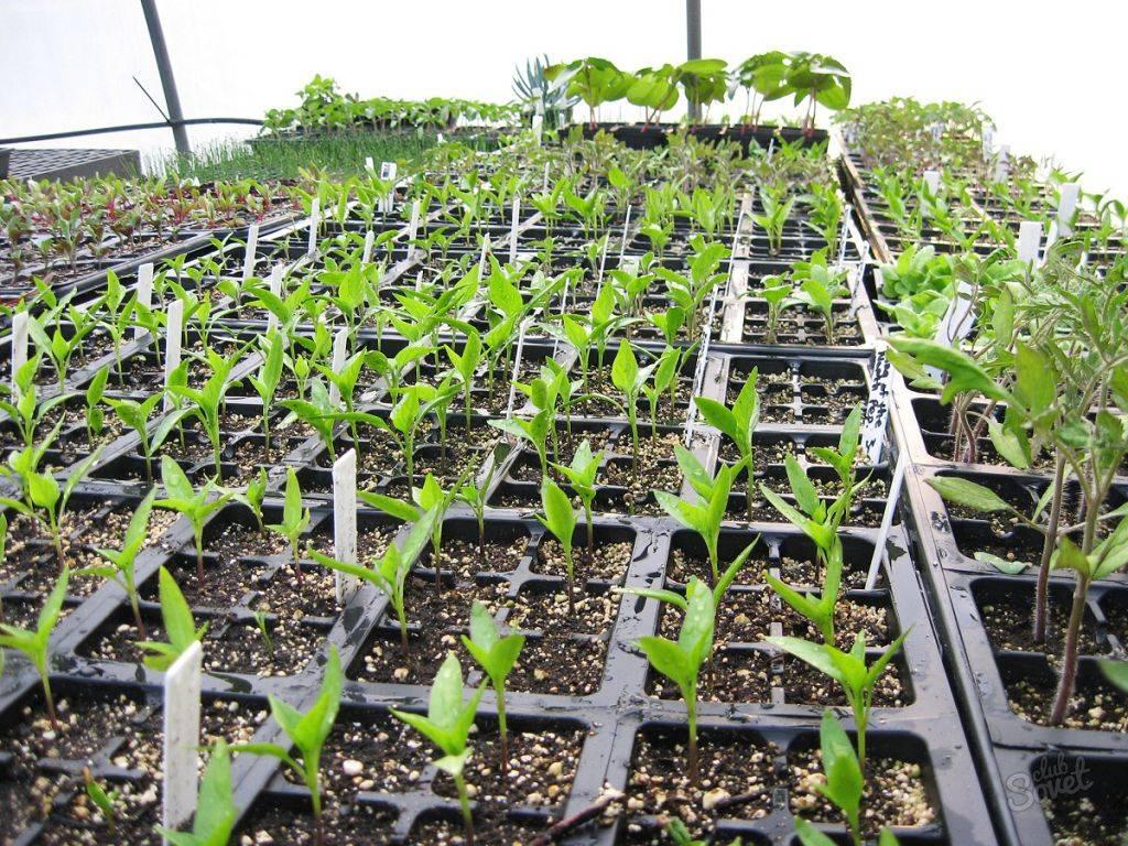 Минимум ухода и обильный урожай – реально! секреты выращивания мелиссы в домашних условиях