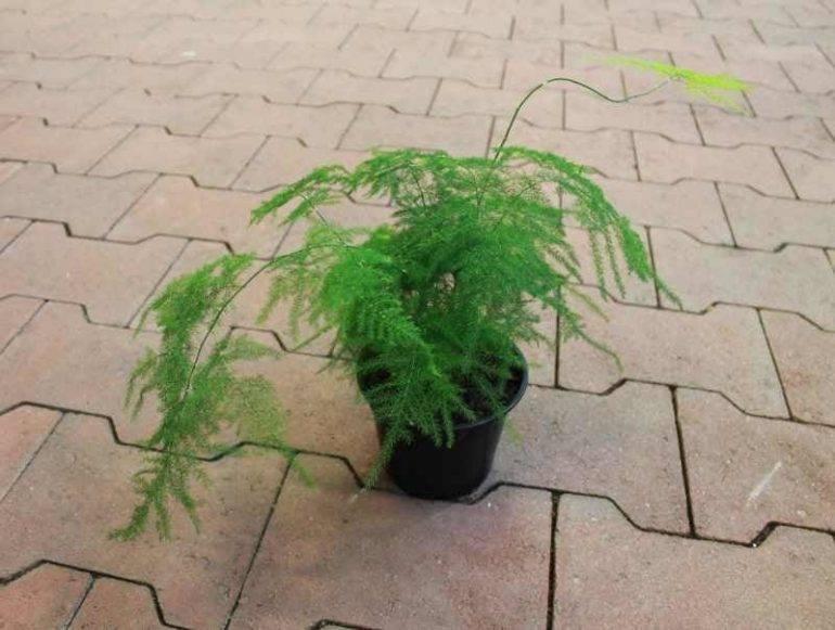 Аспарагус шпренгера: описание, уход и размножение