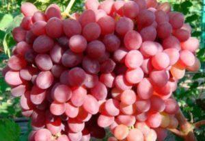 Сорт винограда преображение — фото и описание нового урожайного гибрида
