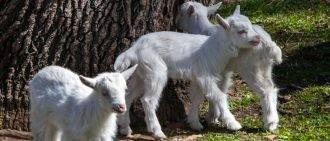 Сколько молока можно получить с козы: правила доения, увеличение количества удоев, особенности составления рациона
