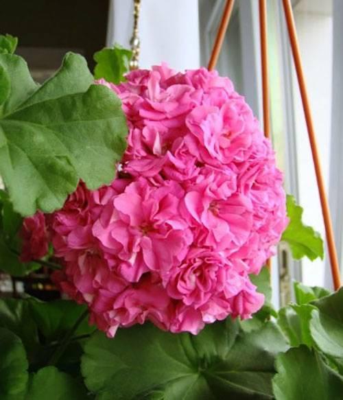 Яркая красавица пеларгония розебудная: правила ухода и самые популярные сорта с описанием и фото
