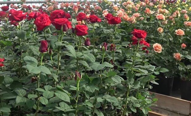 Как вырастить розу в картошке дома