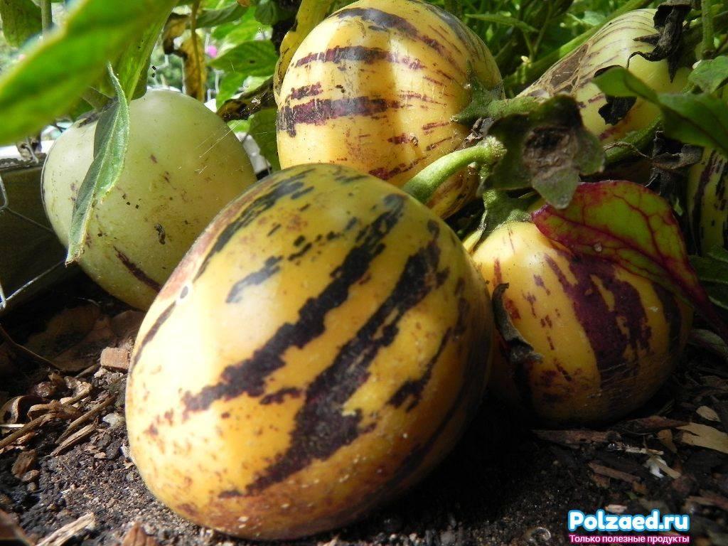 Что такое пепино и как его правильно выращивать в домашних условиях