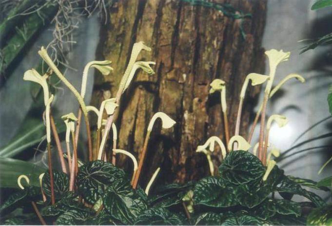 Описание растения пеперомия «сморщенная» (морщинистая)