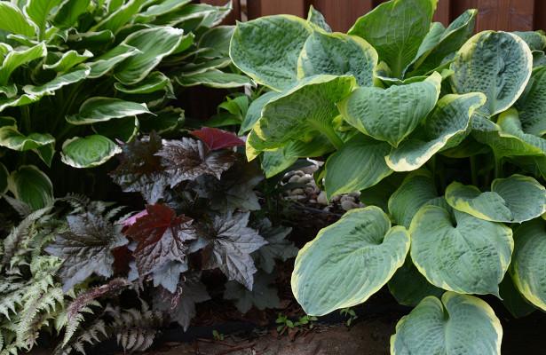 Бадан: описание и правила выращивания