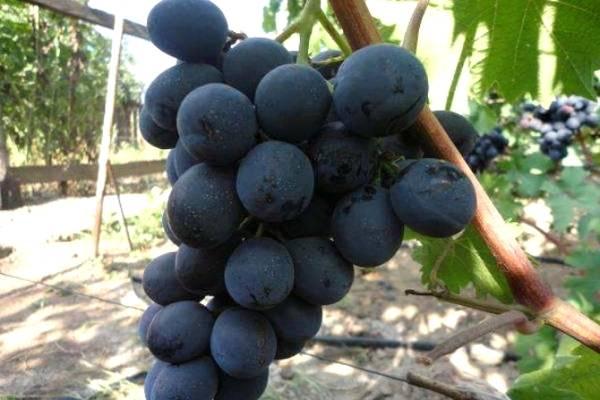 Виноград «фуршетный» – стоит ли сажать?