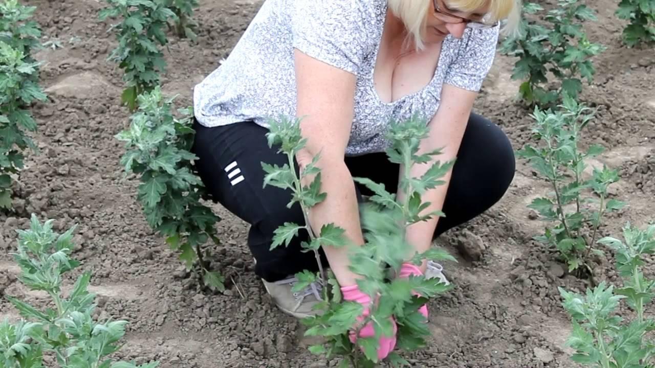 Хризантема садовая — посадка и выращивание