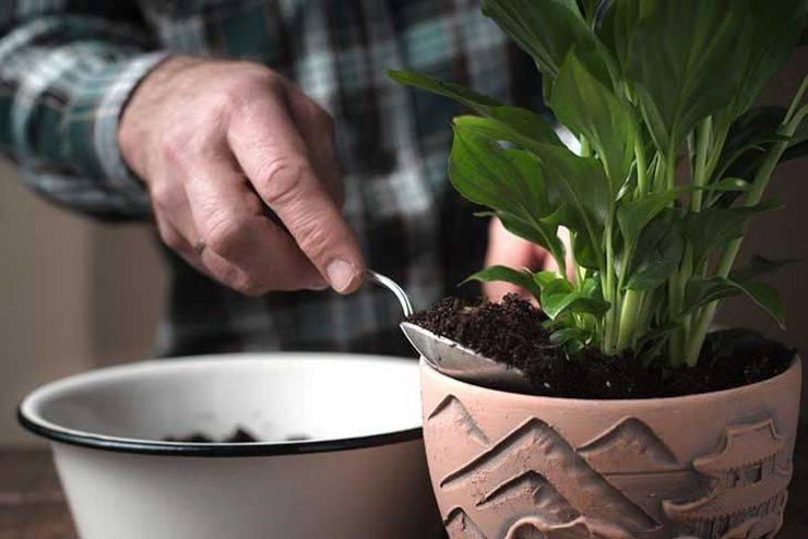 Размножение спатифиллума и уход за молодыми растениями