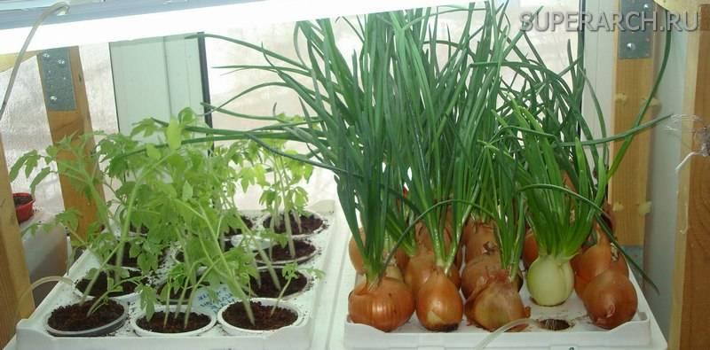 Выращивание зелёного лука на подоконнике