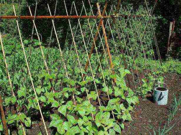 Любительская инструкция выращивания гороха в открытом грунте