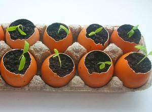 Рассада в яичной скорлупе - как вырастить, видео