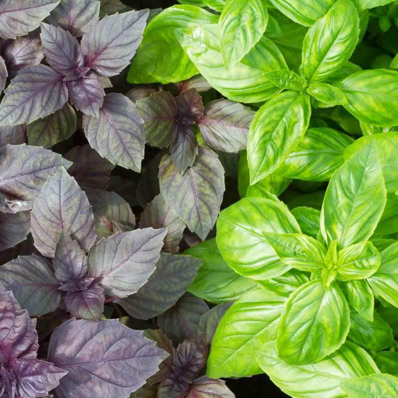 Майоран: выращивание, посадка и уход, популярные сорта и полезные свойства