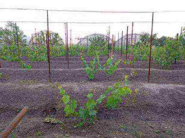 Как ухаживать за виноградом с весны до осени