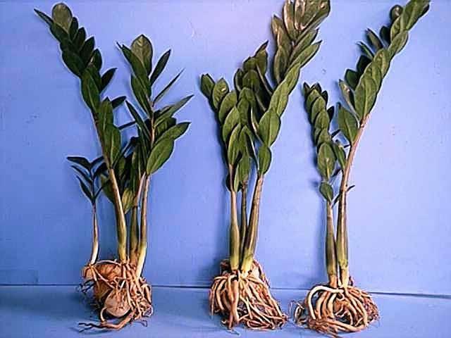 Замиокулькас: как вырастить «долларовое дерево»