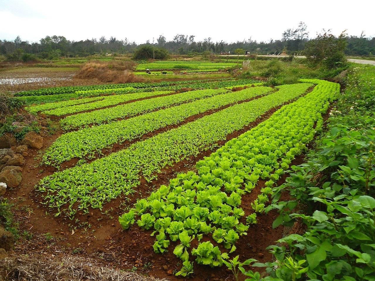 Редька масличная как сидерат и удобрение – когда сеять, особенности применения