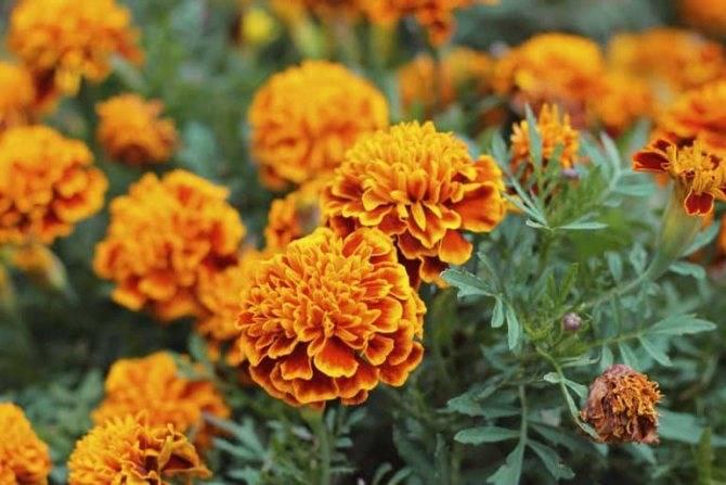 Выращиваем рассаду бархатцев: сроки посева семян