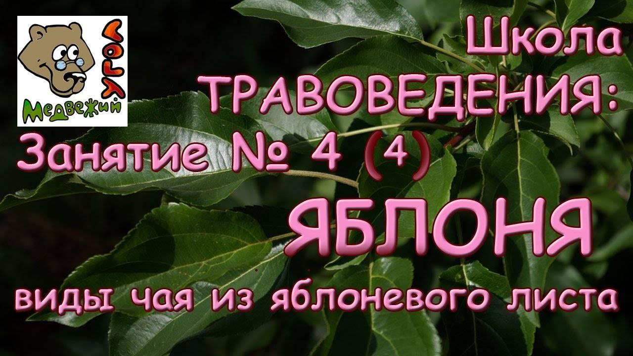 Цветы и листья яблони: полезные свойства и противопоказания