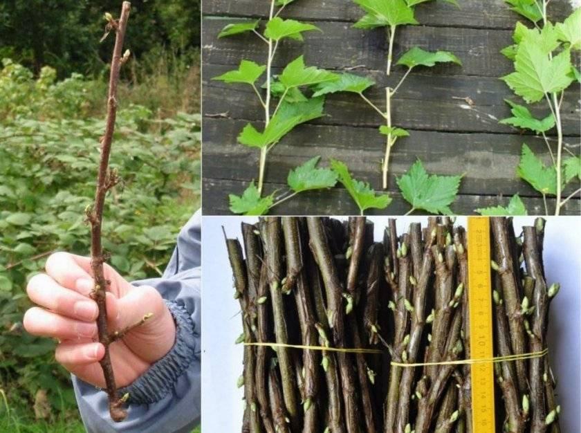 Особенности размножения смородины черенками зимой