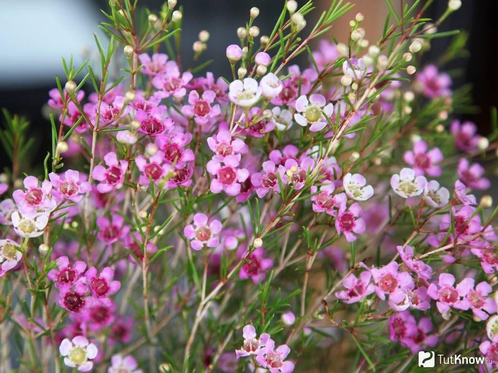 Хамелациум: характеристика видов, выращивание в горшке