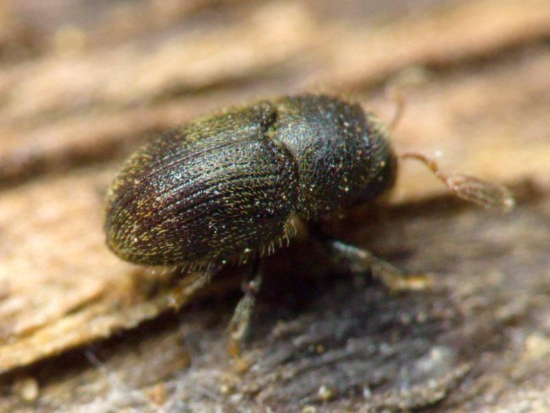 Борьба с жуком точильщиком в деревянном доме