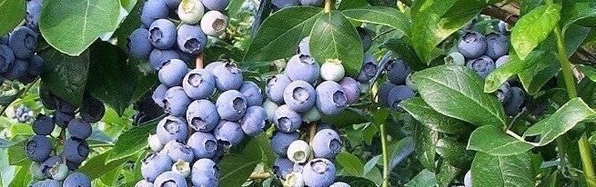Выращивание черники в саду: посадка, размножение, уход