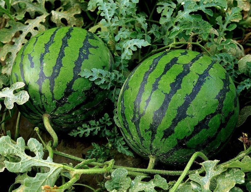 Выращивание арбузов от семечка до ягоды 20 кг