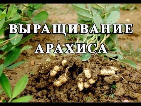 Секреты посадки и выращивания арахиса на огороде