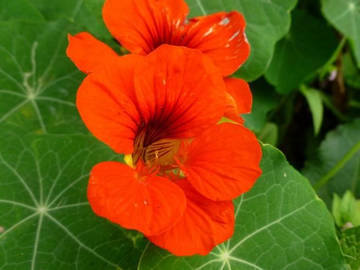 Настурция — уникальное растение для сада и огорода