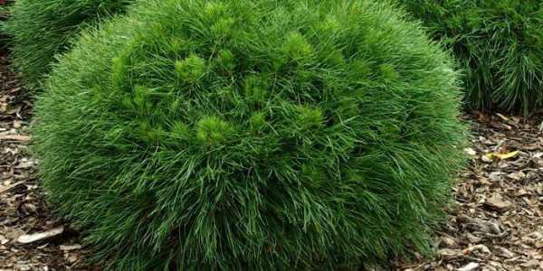 Сорта горной сосны для дачного участка