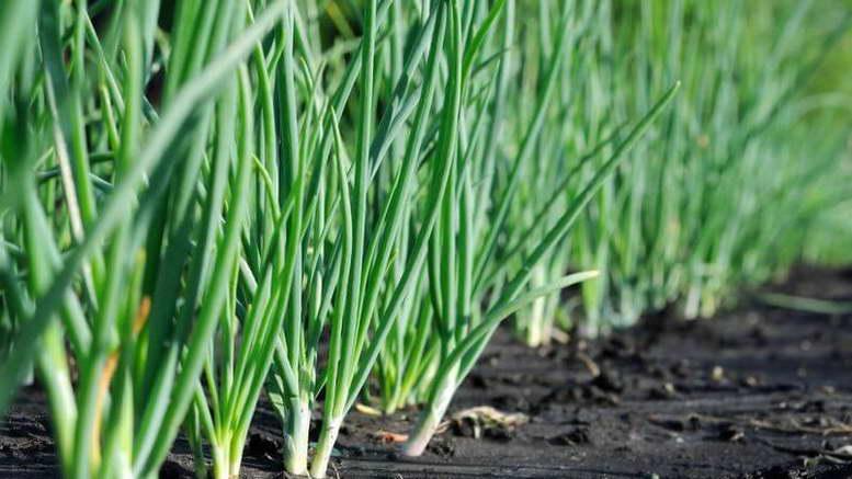 Как вырастить крупный лук из севка?