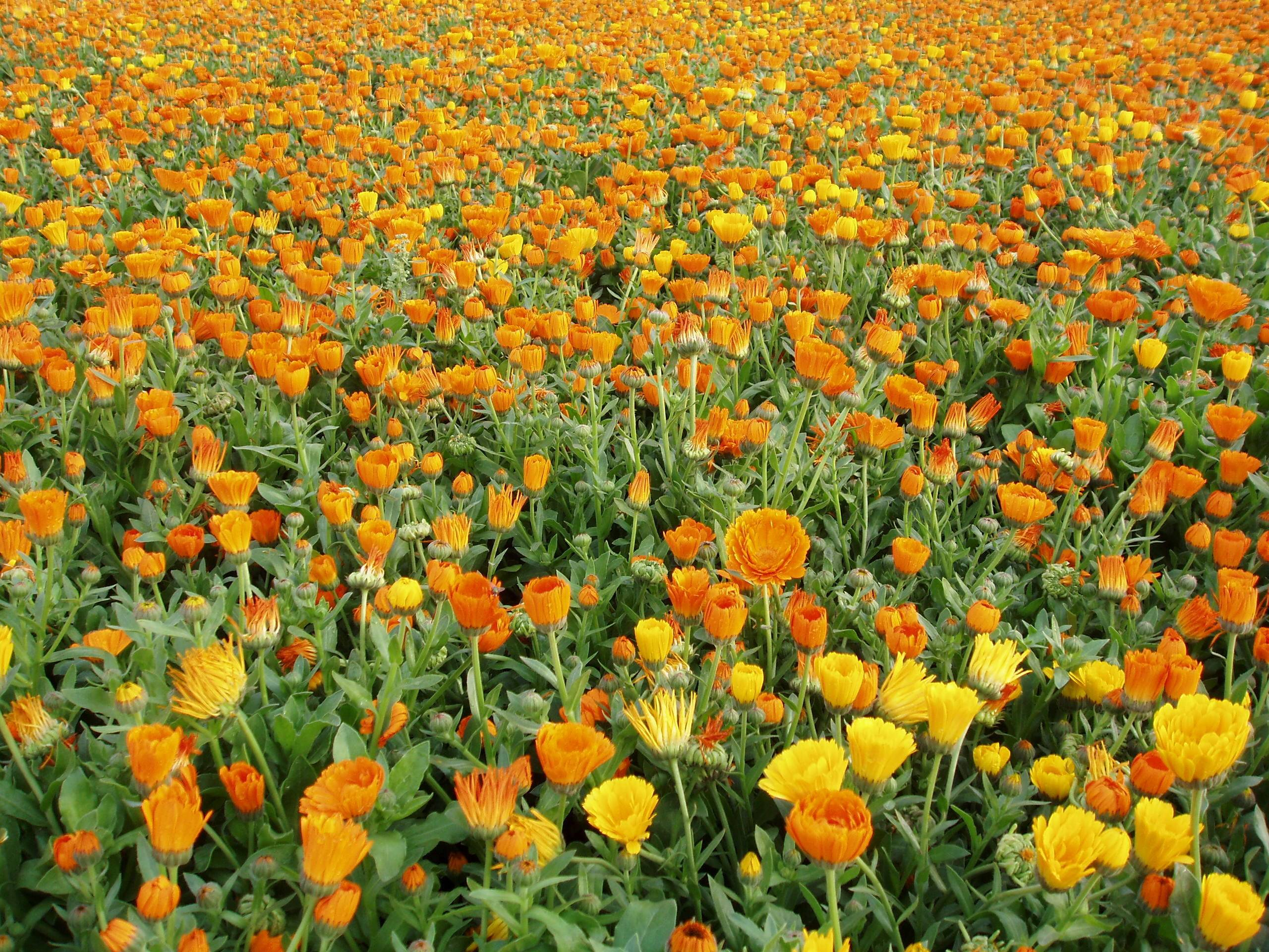 Календула цветок-ноготок — как выглядит и где растет