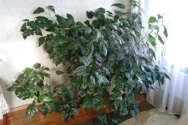 Секреты обрезки гибискуса в домашних условиях и на улице: как формировать растение, чтобы оно цвело?