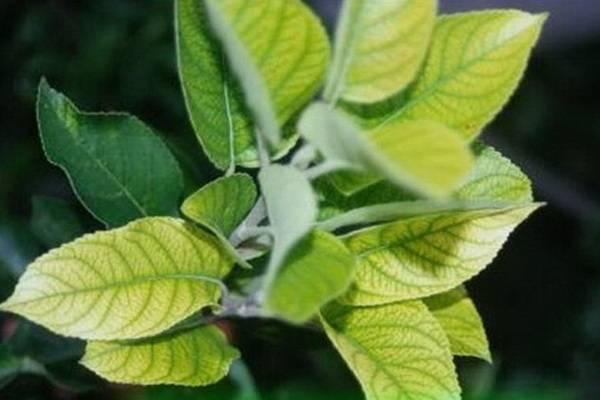 Что делать, когда на яблоне скручиваются листья – 7 причин и способы их решения