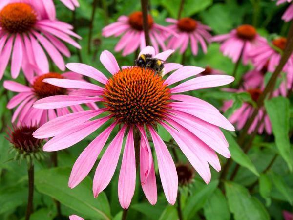 Эхинацея: описание и правила ухода за растением