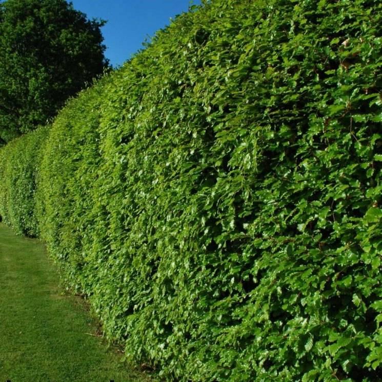 Живая изгородь на даче: оригинальные идеи с фото
