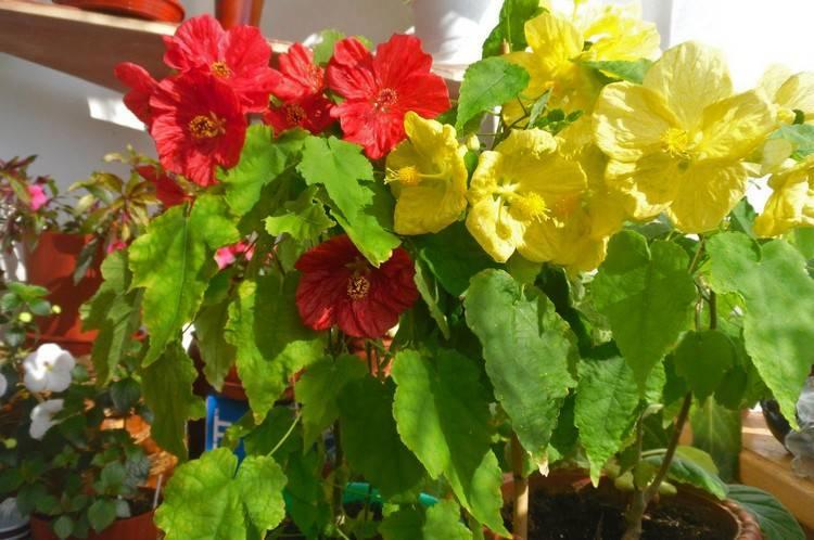 Подбираем горшок для глоксинии правильно: какого он должен быть размера. есть ли особенности в посадке и поливе растения?