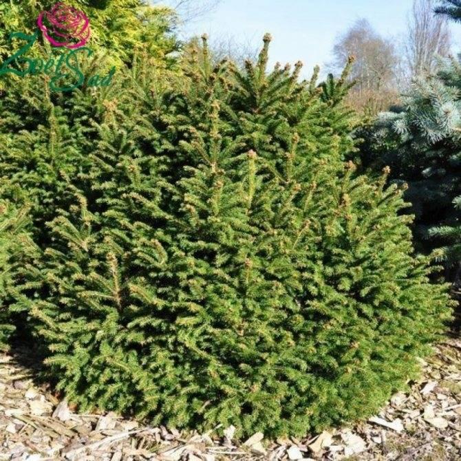 Посадка и уход за пихтой, как вырастить новогоднее дерево