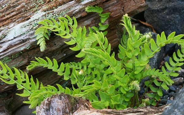 Яснотка: как посадить и вырастить лечебное растение