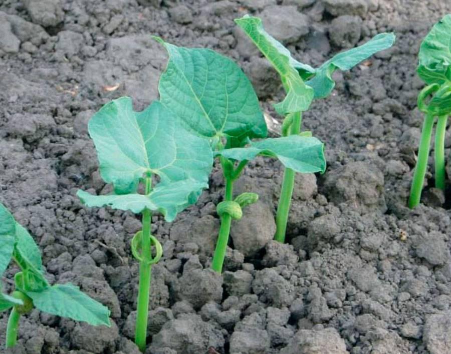Как посадить лобелию в открытый грунт?