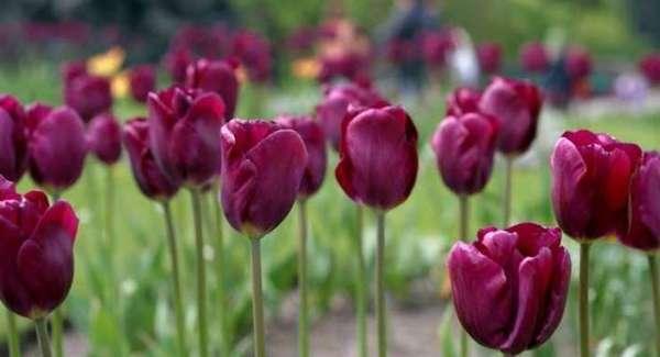 Когда выкапывать тюльпаны и как хранить до посадки осенью их луковицы