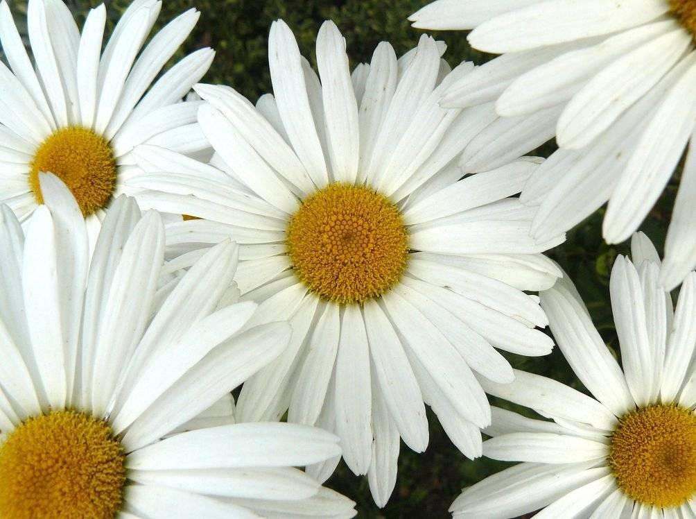 Ромашка садовая крупная многолетняя: посадка и уход в открытом грунте