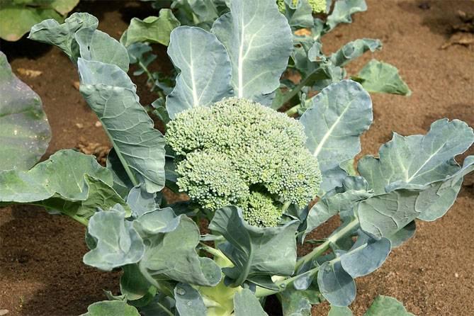 Выращивание брокколи безрассадным способом: эффективный и простой метод