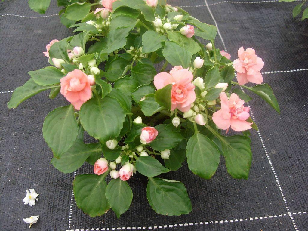 Зимой и летом покрыт цветом: как добиться цветения домашнего бальзамина на протяжении всего года?