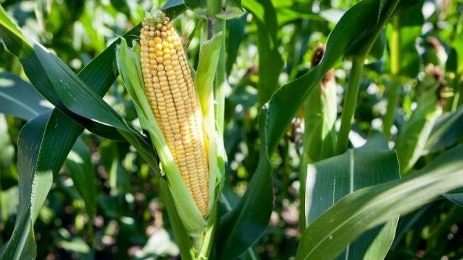 Как правильно высадить рассаду кукурузы в открытый грунт?