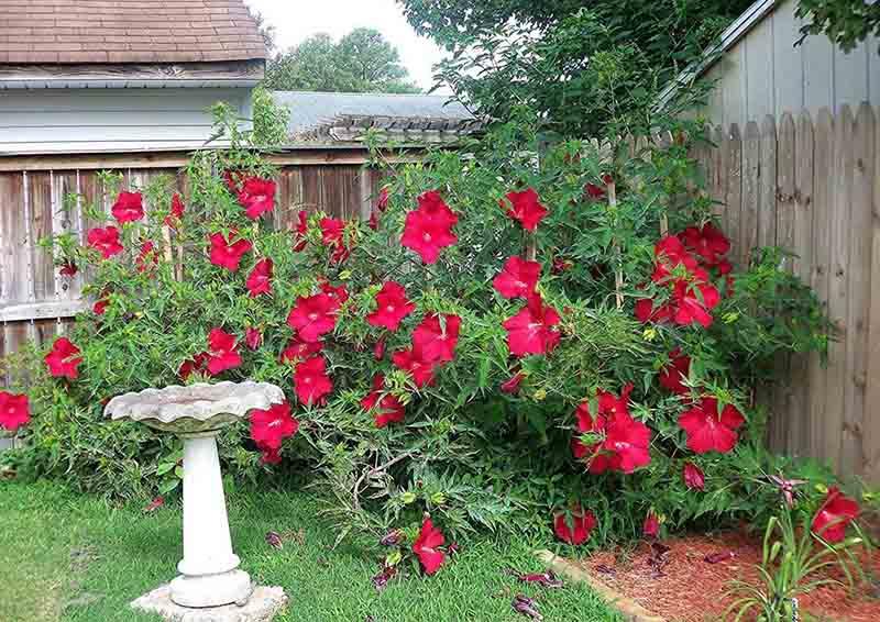 Все о том, как зимует садовый гибискус: фото, подготовка к холодам и уход за растением в саду