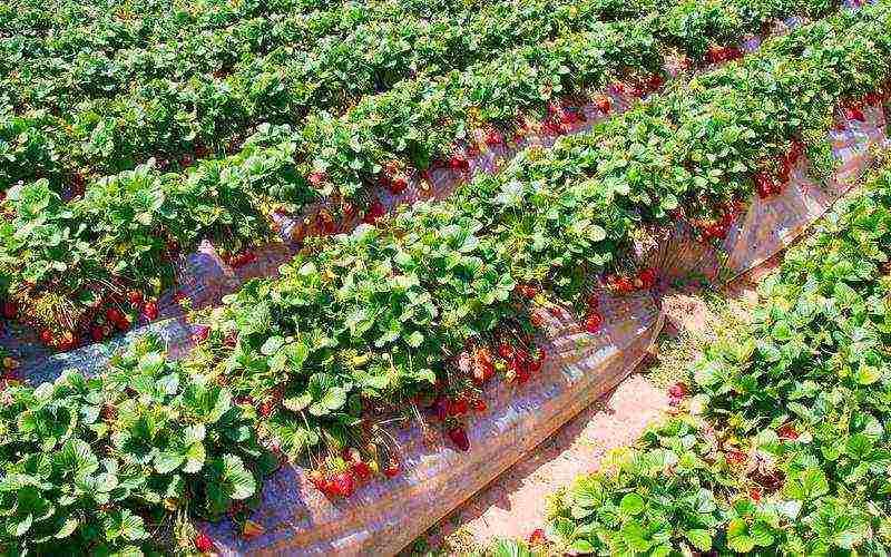Выращивание клубники из семян